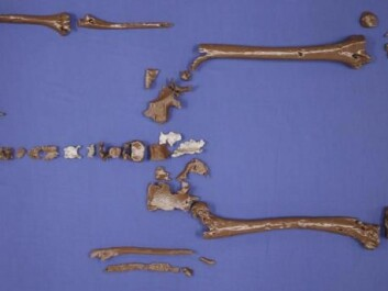 A 3D print of Gorm the Old's bones in full. The skeleton is incomplete. (Photo: Anthropology Laboratory / Chiara Villa)