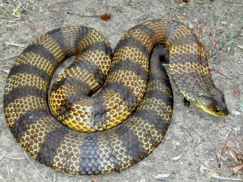 The tiger snake is one of the most dangerous snakes in the world. (Photo: Peter Mirtschin, Venom Supplies)