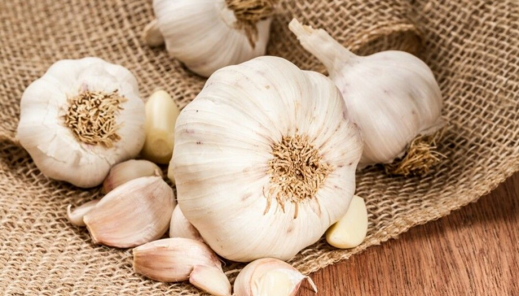 Professor Michael Givskov and a Copenhagen University research team have studied the effect of garlic on bacteria since 2005. Their research is now about to result in a new medication. (Photo: spicyPXL / Shutterstock / NTB scanpix)