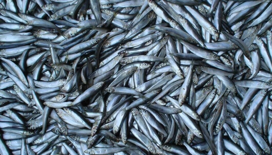 Fish such as sprat have been on a downturn since the mid-1990s, shows new study. (Photo: Wikipedia)
