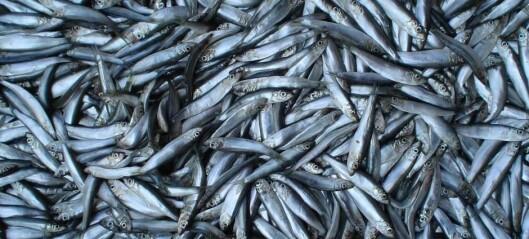Downturn in crucial North Sea fish species