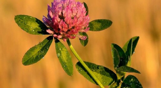 Scientist: Osteoporosis can be prevented with red clover