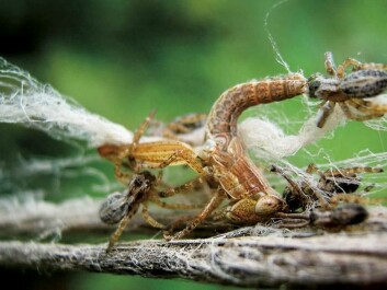 Social spiders collaborate to catch larger prey. (Photo: Virginia Settepani)