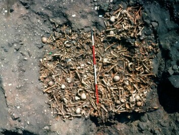 Radiocarbon dating was a new method when the Repton grave remains were first dated in the 1980s. Scientists then were not aware that diets could affect the results. (Photo: Martin Biddle)