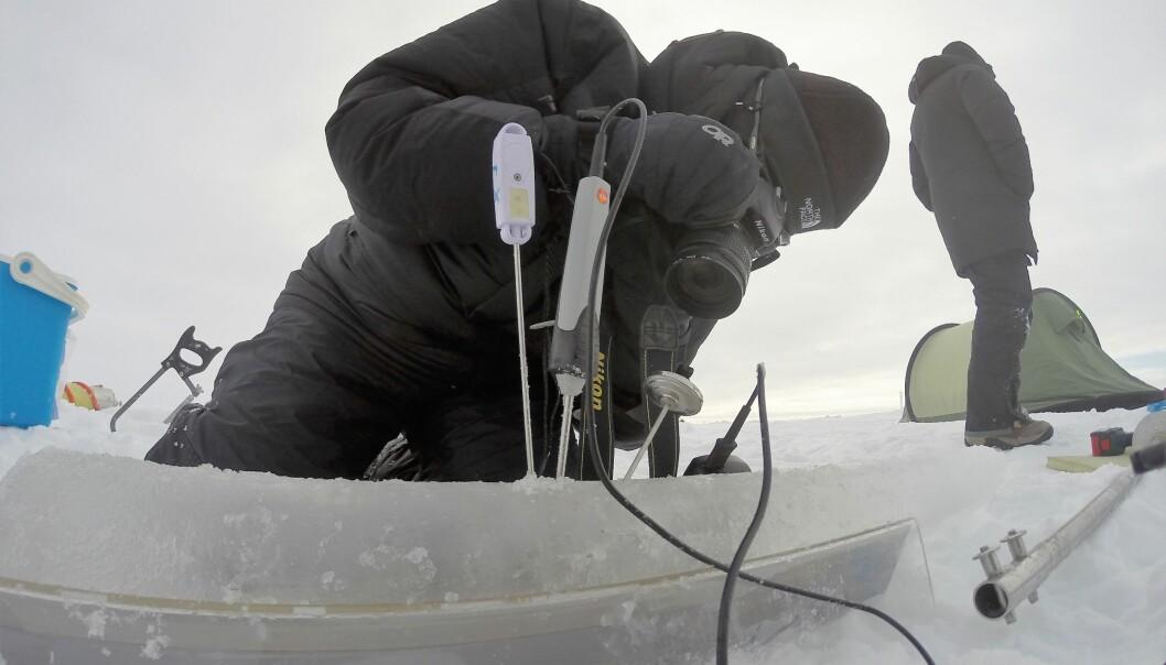 Biologist Stine Højlund Pedersen measures the temperature in ice cores. (Photo: Kasper Hancke)