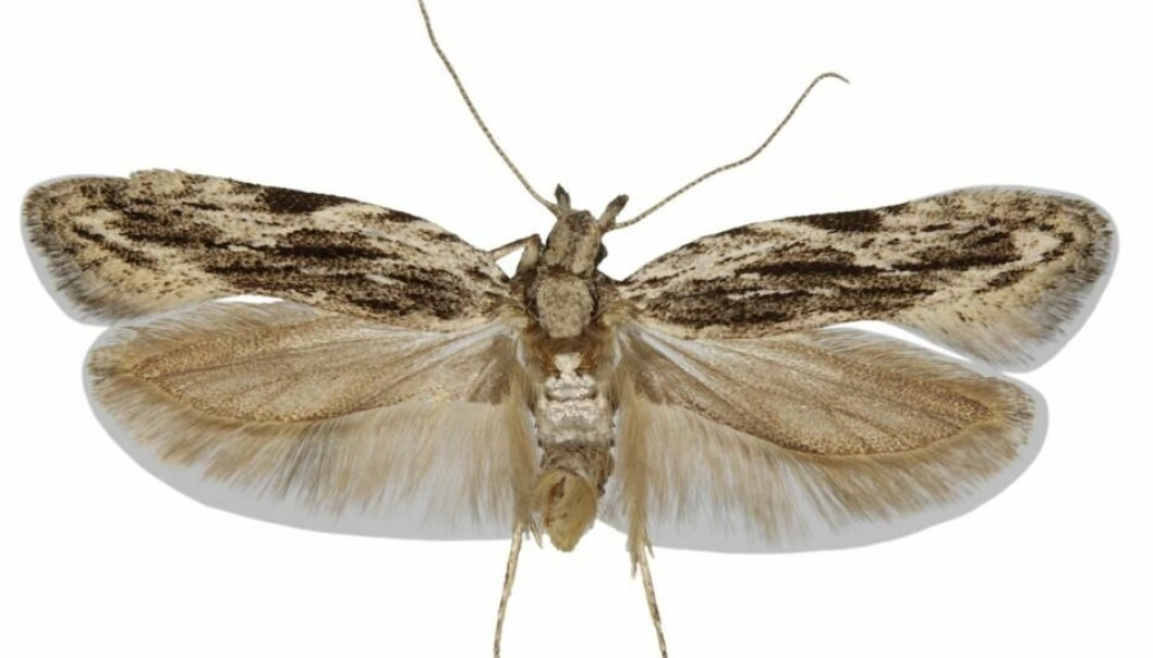 For the first time since 2010, scientists have described a previously unknown species of moth in Denmark. Scientists have named it, Anarsia innoxiella. (Photo: Keld Gregersen)