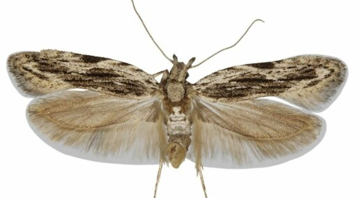Rare discovery: New moth species discovered in Denmark