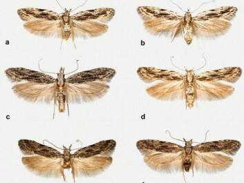 Can you spot the difference? A, B, C, and D, are all examples of the new species, Anarsia innoxiella. The peach twig borer moth is shown in E and F. The top two were found in Denmark, all others are from Germany. (Photo: Gregersen and Karsholt, 2017).