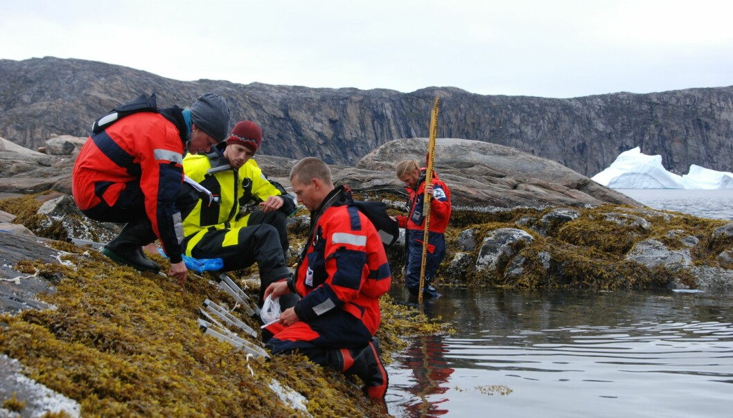 Blue mussels have an important role in coastal ecosystems and are a key indicator for climate change, which is why scientists are studying where and how they survive along the Greenland coast today. From the left: Susse Wegeberg and Jakob Thyrring from the Arctic Research Centre, Denmark, Martin E. Blicher from the Greenland Institute of Natural Resources, and Jozef Wiktor Jr. from the Polish Academy of Sciences. (Photo: Kristine Engel Arendt)