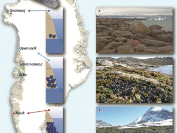 The abundance of blue mussels in the intertidal zone declines in West Greenland as the climate changes from mild subarctic (south) to a cold Arctic (north). The pictures show the habitats in which mussels can survive: In the south mussels are found in open areas, but in the north, they can only survive in gaps between rocks. (Credit: Jakob Thyrring and Mikael K. Sejr)