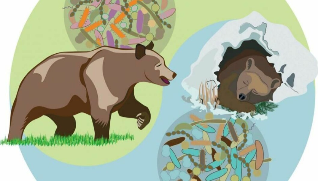 A bear's gut microbiota changes from summer to winter. (Illustration: Cell Reports)