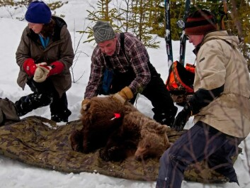Bears in the Scandinavian Brown Bear Research Project wear GPS collars. This helps the scientists locate the bear's den in winter. They dig it out quickly, the bear wakes, and is quickly anaesthetised. (Photo: Ole Frøbert)