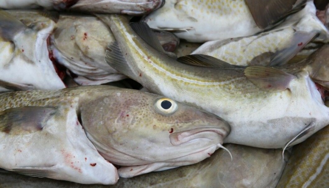 Cod has been a major food for Scandinavians for millennia. Maybe the biggest cod consumers were those who lived on seacoasts during the Stone Age, according to new findings from Lund University. (Photo: Bernhard Richter / Shutterstock / NTB scanpix)