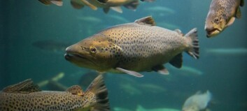 Salmon get their sense of direction from mum
