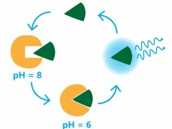 The luciferase enzyme (yellow Pacman) becomes active at pH 6. It binds with luciferin (green wedge), transferring energy via oxidation, which is emitted as blue light. (Illustration: Signe Friis Schack, Allumen IVS)