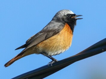 The European redstart is an example of a migrant bird that breeds in Europe but spends the winter in Sub-Saharan Africa. (Photo: Thomas Alerstam)