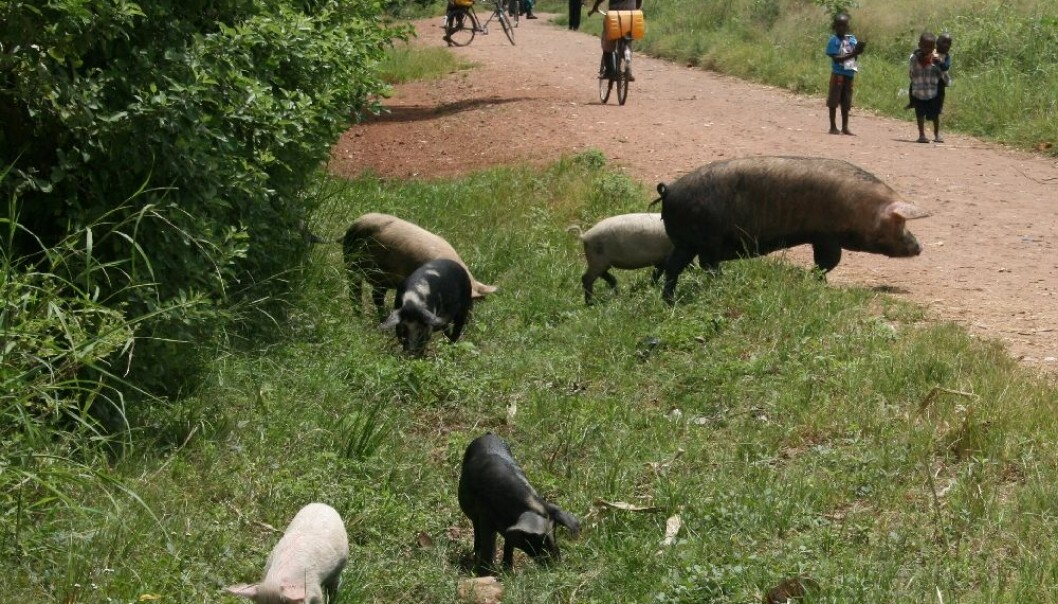 Eggs from tapeworms are found in human excrement, for instance in nature in Africa. These eggs can travel via pigs to human stomachs and then to the brain, where they cause epilepsy. (Photo: Annette Olsen, University of Copenhagen)