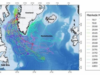 Tracks of 30 porpoises. Porpoises were caught and instrumented with satellite transmitters in Maniitsoq, West Greenland. (Figure: Nynne Elmelund Lemming, Greenland Institute of Natural Resources)
