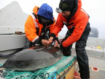 A scientist and a local hunter attach a satellite transmitter to a harbour porpoise in West Greenland. (Photo: Nynne Elmelund Lemming, Greenland Institute of Natural Resources)
