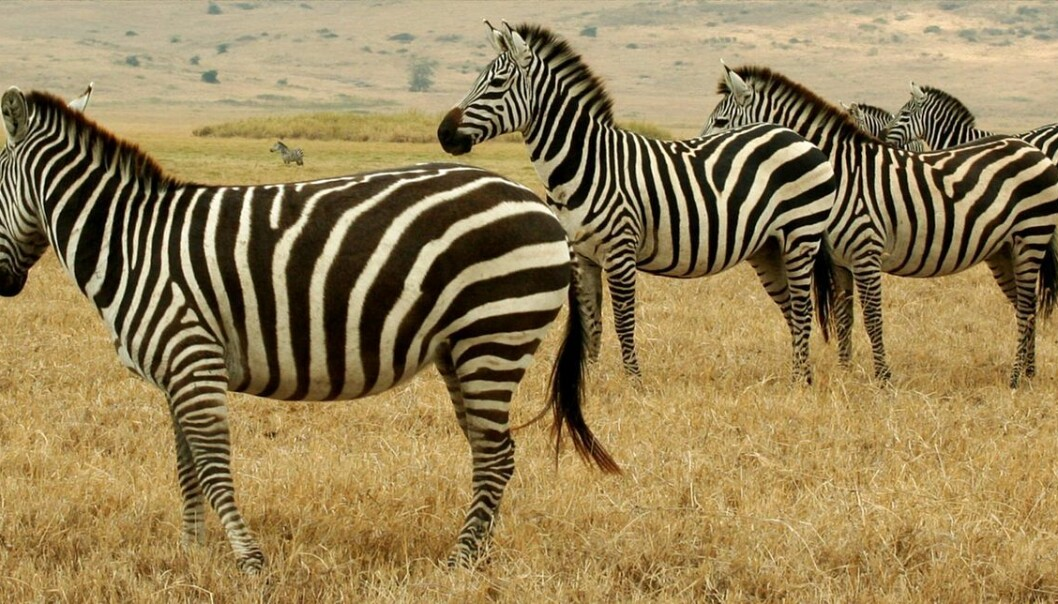 The zebra's stripes have long been a mystery to scientists. But now we may be a step closer to an explanation of this weird outfit. (Photo: Eismcsquare)