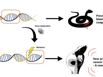 Serine proteases are proteins that are involved in the coagulation process of blood, when the snake gets an injury. After a duplication of the gene encoding a serine protease, the duplicate gene undergoes neofunctionalization and is expressed as part of the venom in a specialized venom gland. After a snake bites its prey and injects venom, the serine protease will consume all clotting factors in the blood of the prey. Therefore, the blood can no longer coagulate, and thus the animal will bleed to death. This is called consumption coagulopathy. (Illustration: Albert Fuglsang-Madsen).