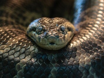 Yellow anaconda. One of the snake species that is not venomous, but instead uses constriction as its strategy for prey subduction. Possibly, the ancestors of this snake species may have been venomous. (Photo: Eunectes notaeus © Silvain de Munck (Flickr).