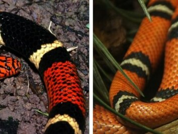 It can be difficult to tell the two snakes apart. The snake on the left is the venomous coral snake, whereas the snake on the right is the harmless milk snake that copies the pattern of the coral snake for free protection. (Fotos: Micrurus surinamensis (left) © Bernard Dupoint (Flickr), Lampropeltis triangulum (right) © Allie Caulfield (Flickr).