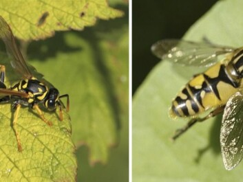 A wasp is seen on the left, which the hoverfly on the right easily can be mistaken for. (Photos: Polistes dominula (left) © Dan Mullen (Flickr), Hoverfly of the genus Syrphoidea (right), © Fabrice (Flickr).