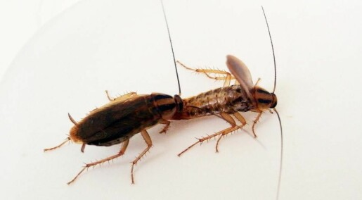 Male cockroaches that have frequent sex eat more protein