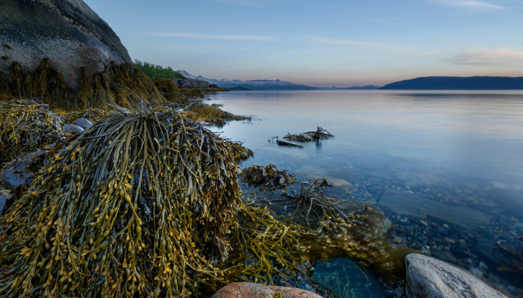 The Nordic countries are teeming with marine forests of kelp and sea grass, which lock away CO2 and provide a refuge of high pH in an increasingly acidic ocean. But how can they really help in the fight against global warming?  (Photo: Shutterstock)