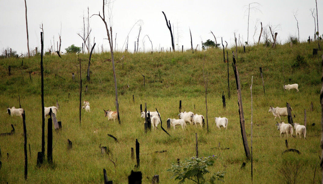 Cattle farming is one of the main reasons that Brazil's rainforests are being chopped down. Farmers cut trees and burn the land to create grazing areas for beef cows. -8Photo: Shutterstock / NTB Scanpix)
