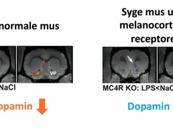 PET-scan images of the dopamine response in normal mouse brains and in the brains of mice missing the Melanocortin 4 receptor experiencing systemic inflammation. The normal mice (on the left) experience a drop in the dopamine level when they feel sick, while the dopamine level increases in the reward center of mice missing the Melanocortin 4 receptor (on the right). (Illustration: Klawonn et al.,)