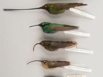 An array of types of hummingbirds. From below: The Cuban bee hummingbird (<i>Mellisuga helenae</i>), which is the smallest bird in the world; tawny-bellied hermit (<i>Phaethornis syrmatophorus</i>); white-tipped sicklebill (<i>Eutoxeres aquila</i>) with its extremely curved bill; a common hummingbird represented by the sparkling violetear (<i>Colibri coruscans</i>); the extremely long-billed sword-billed hummingbird (<i>Ensifera ensifera</i>); and the giant hummingbird (<i>Patagona gigas</i>), which is the world's largest hummingbird. The specimens are from the collection in the Natural History Museum of Denmark. (Photo: Bo Dalsgaard).
