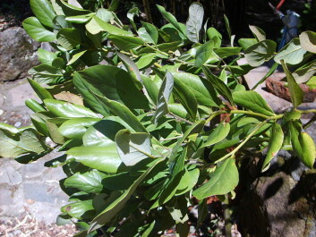 Avocados of the Persea lingue variety only occur naturally in Argentina and Chile. (Photo: Daga)