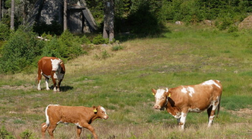 Norwegian farmers keep tabs on cattle with GPS