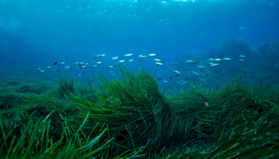 While forests and tundras are losing capacity for carbon storage, another often forgotten ecosystem may hold the answer: seagrass (Photo: Shutterstock)