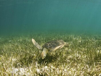 Seagrass can grow at depths of up to 90m and is an important part of the food web. (Photo: Anita Kainrath / shutterstock)