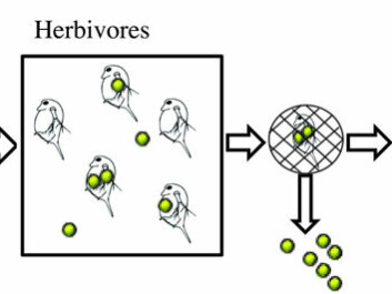 An illustration of the research design. Algae were grown in a tank of water containing nanoparticles (in yellow-green colour). The algae absorbed these particles and the algae are fed to animal plankton. This plankton was then fed to fish.  (Illustration: Cedervall et. al. in PLoS ONE)