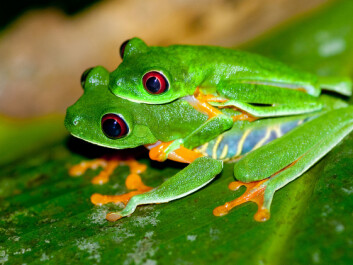 Frogs and other amphibians engage in a very primitive form of sex with external fertilisation. The male hooks himself onto the female's back, waiting for her to lay her eggs. The male then sprays his sperm over the eggs. Pictured are a couple of red-eyed tree frogs being intimate. (Photo: Brian Gratwicke)