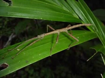 A species of stick insect stopped having sex 1.5 million years ago. How they have managed to survive remains a mystery (Photo: USDA)