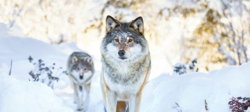 Wolves, but no dogs, in Scandinavian wolf population's heritage