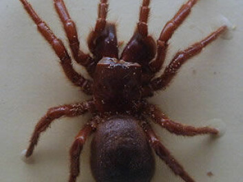 """The active ingredient in Spear®-T is a compound found in the Australian spider Hadronyche versuta (Blue Mountains Funnel Web Spider). It works as an inhibitor (a substance that inhibits a chemical reaction, central nervous system). (Photo: <a href=""""http://www.toxinology.com/fusebox.cfm?fuseaction=main.spiders.display&id=SP00015"""" target=""""_blank"""">Toby_Hudson-2014-CC BY-SA 3.0</a>)"""