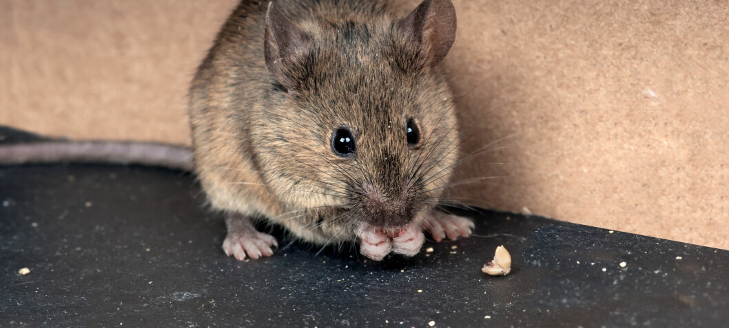 Why mice are man's best friend in the fight against COVID-19