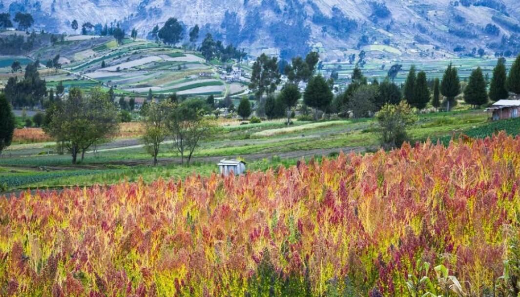 A quinoa field near Chimborazo, Ecuador.