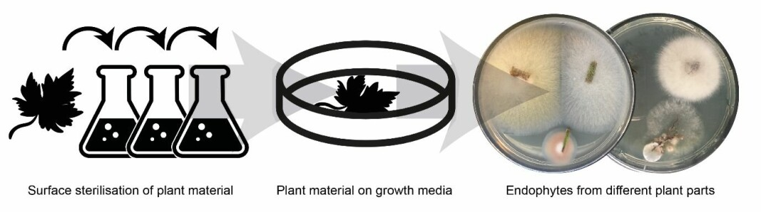 After the surface sterilisation of the plant material, the endophytic fungi can be lured out of the plant by placing small pieces of the plant material on nutrient-rich growth media.
