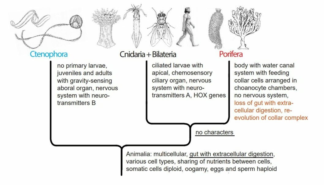 Figure 4. Animal phylogeny according to the 'Ctenophora first' hypothesis (Alternative B), with implied loss of the gut with extracellular digestion in the Porifera.