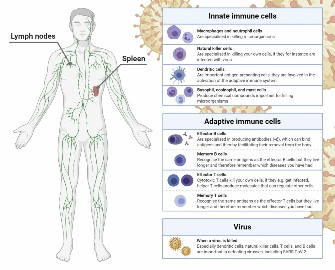 Your immune system is made of several different types of immune cells which are all important for the system to work properly.