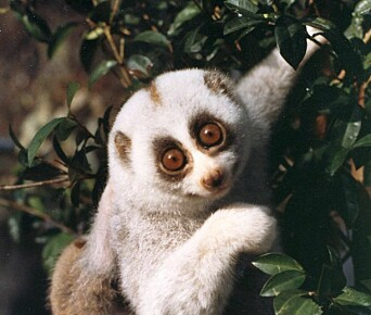 A Bengal slow loris (Nycticebus bengalensis) foraging for food in the trees.