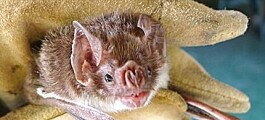 Spurs, furs, and vampires: The science of venomous mammals