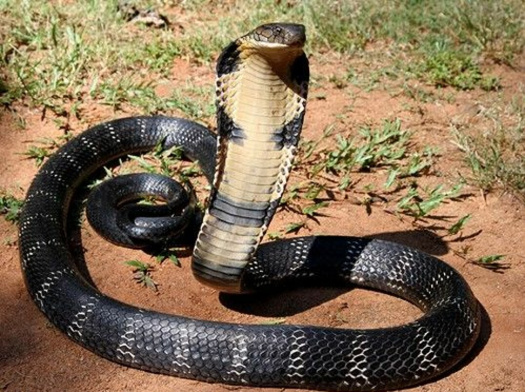 Figure 4. The cobra's venom is very lethal and the main component in the venom is α-cobratoxin that causes paralysis.